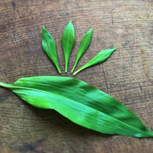 Mikroblad av ramslök - baby leaves